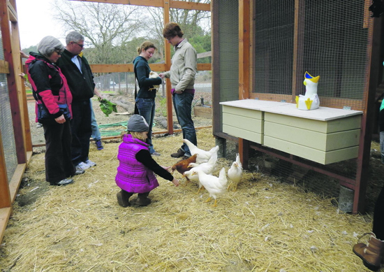 Hens get a lot of attention on the inauguration day of their new Lafayette home. Photo Sophie Braccini